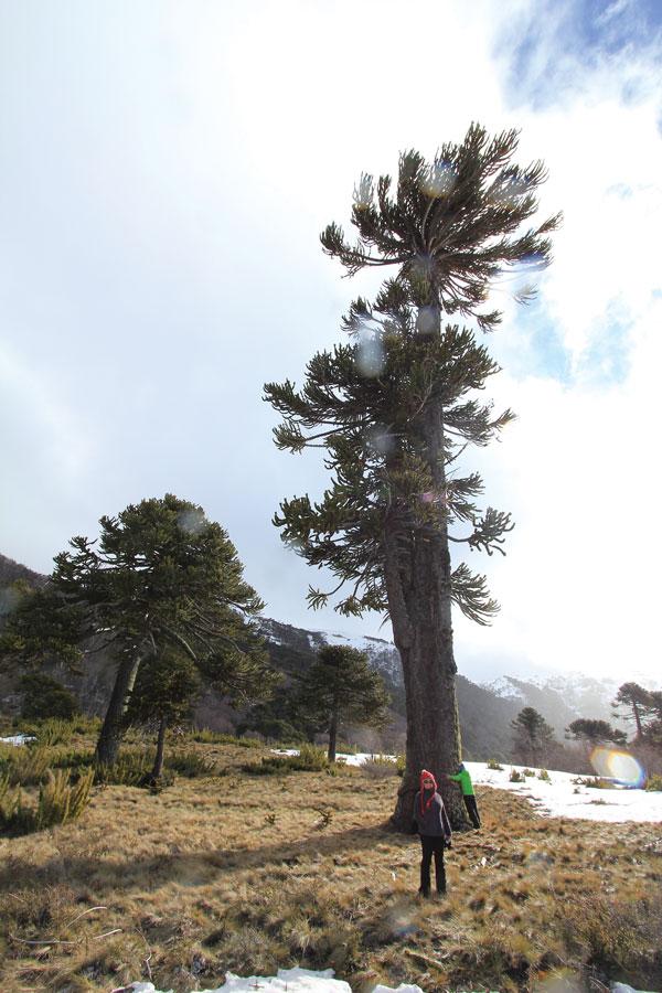 1000 year old aruacaria tree © Owain Price